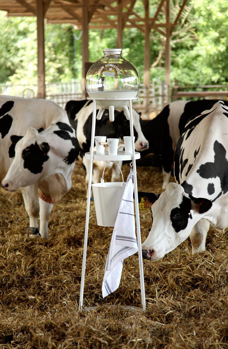 Vache domestique